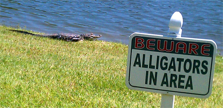 An alligator right outside my office